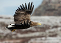 White tailed eagle haliaeetus albicilla in flight a with a catch coal fish norway Stock Photos