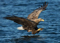 White tailed eagle haliaeetus albicilla in flight a diving to the water to sieze its prey norway Stock Photos