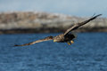 White tailed eagle haliaeetus albicilla in flight a norway Stock Image