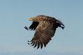 White tailed eagle haliaeetus albicilla in flight norway Stock Photo