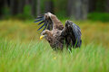 White tailed eagle haliaeetus albicilla landing in the green marsh grass with open wingspan forest in the background sweden Stock Photos