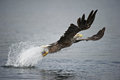 White-tailed Eagle hunting. Royalty Free Stock Photography