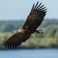 White tailed eagle immature flying over kintai fishponds lithuania Royalty Free Stock Photo