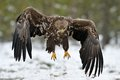 White-tailed Eagle landing Stock Photo