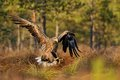White tailed eagle landing in bog Royalty Free Stock Photos