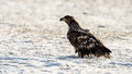 White tailed eagle the s second winter with the typical light back the haliaeetus albicilla also called the sea Stock Image