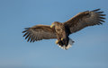 White tailed eagle soaring a together on a perfect blue sky Stock Images