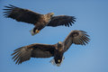 White tailed eagles soaring two together on a perfect blue sky Stock Image