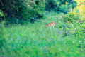 A White-tailed fawn grazing along a trail Royalty Free Stock Photo