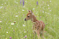 White tailed fawn in meadow of wildflowers Royalty Free Stock Photo