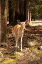 White tailed fawn Royalty Free Stock Photo