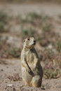 White tailed prairie dog cynomys leucurus front view of a sentinel standing alert outside his burrow in utah Royalty Free Stock Photo