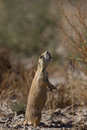 White tailed prairie dog cynomys leucurus sentinel howls an alarm outside his burrow in utah Royalty Free Stock Images