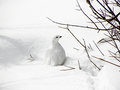 White tailed ptarmigan portrait of on snow under bush in winter Royalty Free Stock Photos