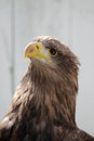 White tailed sea eagle Stock Images