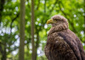 White tailed sea eagle checking out the crowd Royalty Free Stock Photography