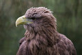 White tailed sea eagle close up of head Royalty Free Stock Photo