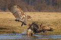White-tailed sea eagle coming in to land Royalty Free Stock Photo