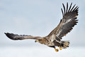 White tailed sea eagle flying above the pack ice Stock Photo