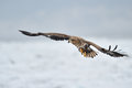 White tailed sea eagle flying above the pack ice Stock Image