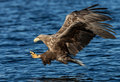 White tailed sea eagle haliaeetus albicilla catching a fish in norway Royalty Free Stock Photo
