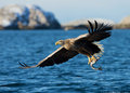 White tailed sea eagle haliaeetus albicilla catching a fish norway march Royalty Free Stock Photo