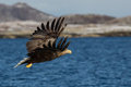 White tailed sea eagle haliaeetus albicilla with a fish in flight norway Royalty Free Stock Photos