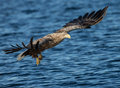 White tailed sea eagle haliaeetus albicilla in flight norway Royalty Free Stock Photos