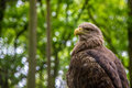 White tailed sea eagle see europa crowd forrest resting sitting feather feathers beak yellow brown green Stock Photo
