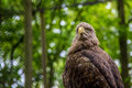 White tailed sea eagle sitting while checking out the crowd Royalty Free Stock Photos