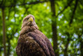 White tailed sea eagle sitting while checking out the crowd Royalty Free Stock Images