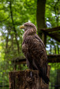White tailed sea eagle sitting while checking out the crowd Stock Images