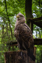 White tailed sea eagle sitting while checking out the crowd Royalty Free Stock Photography