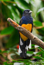 White Tailed Trogon Stock Photography