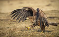 White tailed walking sea eagle taking and early morning stroll Royalty Free Stock Image