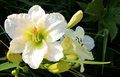 White temptation daylily in garden Royalty Free Stock Image