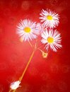 White three daisies on grunge red texture Royalty Free Stock Images