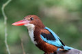 White Throated Breasted Kingfisher Royalty Free Stock Photo