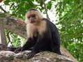 White throated capuchin this monkey can live up years Stock Images