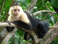 White throated capuchin this monkey can live up years Stock Photography