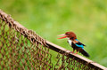 White-throated kingfisher Stock Photography