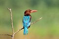White Throated Kingfisher Royalty Free Stock Image