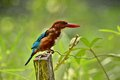 White Throated Kingfisher Royalty Free Stock Photo