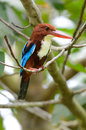 White throated kingfisher beautiful halcyon smyrnensis Stock Image