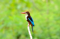 White throated kingfisher beautiful halcyon smyrnensis Stock Images