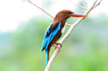 White throated kingfisher beautiful halcyon smyrnensis Royalty Free Stock Photography