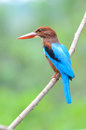 White throated kingfisher beautiful halcyon smyrnensis Royalty Free Stock Images