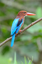 White throated kingfisher beautiful halcyon smyrnensis Royalty Free Stock Image