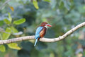 White throated kingfisher Halcyon smyrnensis Stock Images