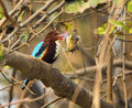 White throated kingfisher halcyon smyrnensis a with catch Royalty Free Stock Photos